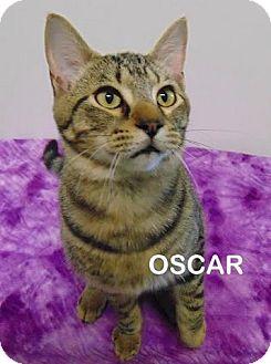 Domestic Shorthair Cat for adoption in Mountain View, Arkansas - Oscar