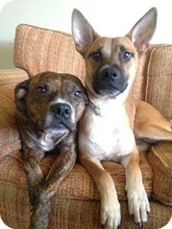 Cattle Dog/Corgi Mix Dog for adoption in HAGGERSTOWN, Maryland - BUDHA