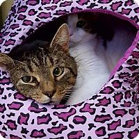Domestic Shorthair Cat for adoption in Salisbury, Massachusetts - Pheasant
