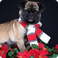 Adopt A Pet :: Gus - SAN PEDRO, CA