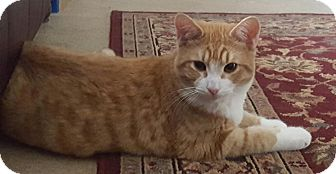 Domestic Shorthair Kitten for adoption in Mooresville, North Carolina - A..  Otto
