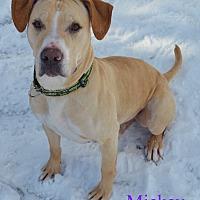 Adopt A Pet :: Mickey - Fryeburg, ME