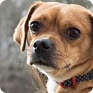 Adopt A Pet :: Pugsly