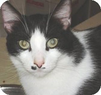 Domestic Shorthair Cat for adoption in Miami, Florida - Indiana