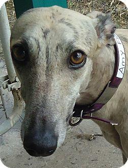 Greyhound Dog for adoption in Longwood, Florida - Dysfunctional