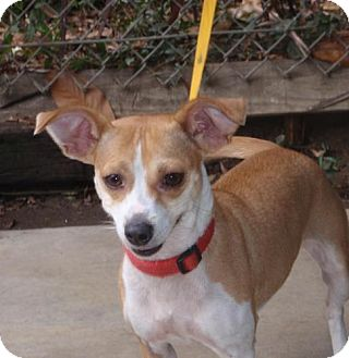 Chihuahua Mix Dog for adoption in San Diego, California - Sadie URGENT