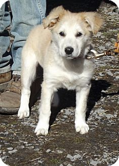 Golden Retriever/Collie Mix Puppy for adoption in Morgantown, West Virginia - Ellie
