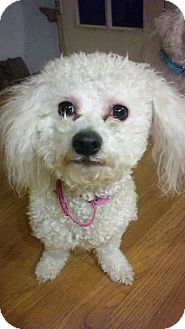 Bichon Frise/Poodle (Toy or Tea Cup) Mix Dog for adoption in North Olmsted, Ohio - Gigi