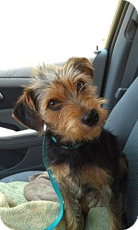 Yorkie, Yorkshire Terrier/Schnauzer (Miniature) Mix Dog for adoption in Knoxville, Tennessee - Nathan
