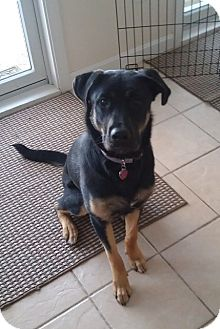 Shepherd (Unknown Type) Mix Dog for adoption in kennebunkport, Maine - Firkin-in Maine-Courtesy Post