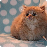 Adopt A Pet :: Cheddar - Union, KY
