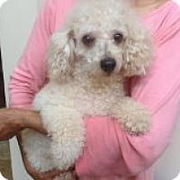 Adopt A Pet :: Cici - Coral Springs, FL