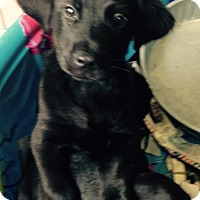 Adopt A Pet :: Black lab mix male - Pompton Lakes, NJ