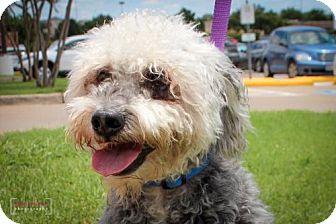 Poodle (Miniature)/Standard Schnauzer Mix Dog for adoption in Wylie, Texas - Cruz