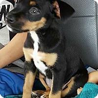Adopt A Pet :: Pie - Trenton, NJ