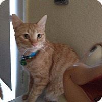 Domestic Shorthair Cat for adoption in Burbank, California - Marmalade