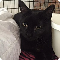 Adopt A Pet :: Midnight Moon - Chicago, IL