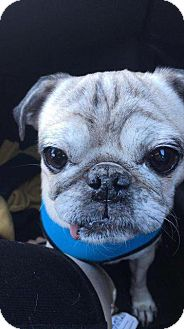 Pug Dog for adoption in Gardena, California - Larry