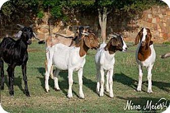 Goat for adoption in McKinney, Texas - Ear Tag Txb21871