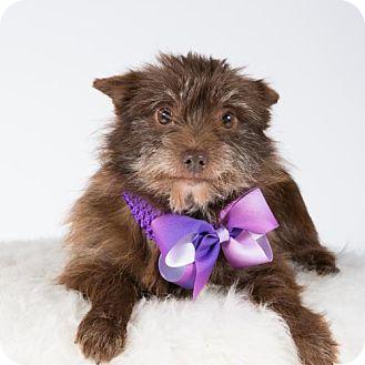 Pomeranian/Yorkie, Yorkshire Terrier Mix Dog for adoption in St. Louis Park, Minnesota - Muppet