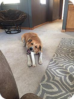 Great Pyrenees/Labrador Retriever Mix Dog for adoption in Springfield, Missouri - Murph