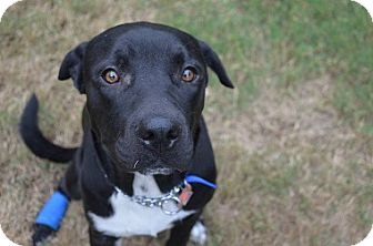 Labrador Retriever Mix Dog for adoption in Austin, Texas - Oreo