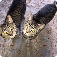 American Shorthair Cat for adoption in Brooklyn, New York - Tabitha