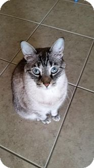 Siamese Cat for adoption in Orlando, Florida - Kashi (JB) (4/3/2008) (Courtesy)