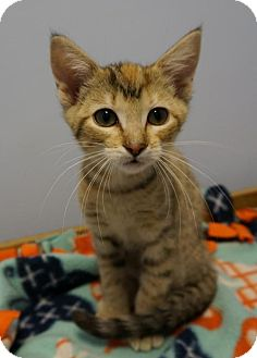 Domestic Shorthair Kitten for adoption in Verona, Wisconsin - Ruby