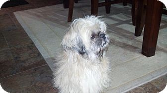 Shih Tzu Dog for adoption in Brea, California - Luna