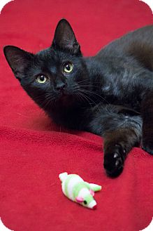 Bombay Cat for adoption in Chicago, Illinois - Cinderfella