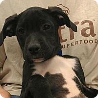 Adopt A Pet :: Luciano - Phoenix, AZ