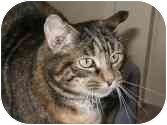 Domestic Shorthair Cat for adoption in Pascoag, Rhode Island - Tiger Lily