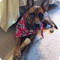 Adopt A Pet :: Daphne - Evergreen Park, IL