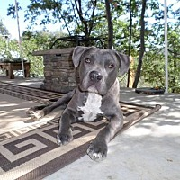 Adopt A Pet :: Bodhi - Crestline, CA
