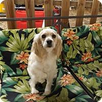Adopt A Pet :: Cinderella -Adopted! - Kannapolis, NC