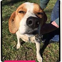 Adopt A Pet :: Lady (Pom-Knox) - Plainfield, CT