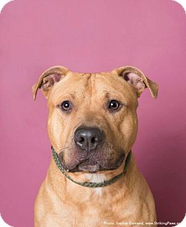 Labrador Retriever Mix Dog for adoption in Brookhaven, New York - Gomez