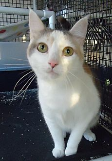 Domestic Shorthair Cat for adoption in Speedway, Indiana - Little Ann
