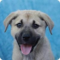 Adopt A Pet :: Jorja - ADOPTION IN PROGRESS - Danbury, CT