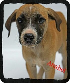 Pit Bull Terrier/Labrador Retriever Mix Puppy for adoption in Old Saybrook, Connecticut - Anabel
