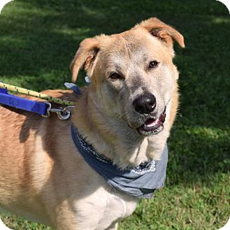 Shepherd (Unknown Type) Mix Dog for adoption in Canastota, New York - Daryl
