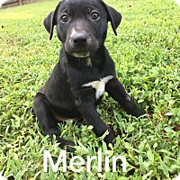 Adopt A Pet :: Merlin-Male - Olive Branch, MS