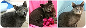 Domestic Shorthair Kitten for adoption in Forked River, New Jersey - Tootie