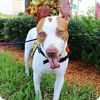 Pointer/American Bulldog Mix Dog for adoption in Ft. Myers, Florida - Baylee