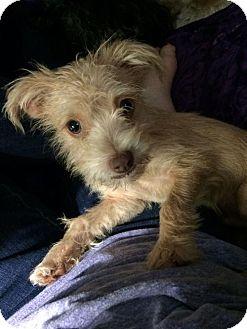Terrier (Unknown Type, Medium) Mix Puppy for adoption in McKinney, Texas - James Woods