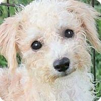 Adopt A Pet :: PEBBLES(OUR