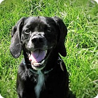 Beagle/Pug Mix Dog for adoption in Eldora, Iowa - Bogie/Adopted