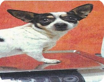 Chihuahua/Rat Terrier Mix Dog for adoption in Longview, Washington - LINDA LU