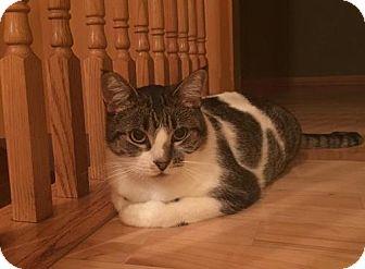 Domestic Shorthair Cat for adoption in Princeton, Minnesota - Kia